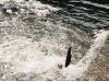 fish_jumping